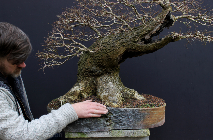 big elm bonsai