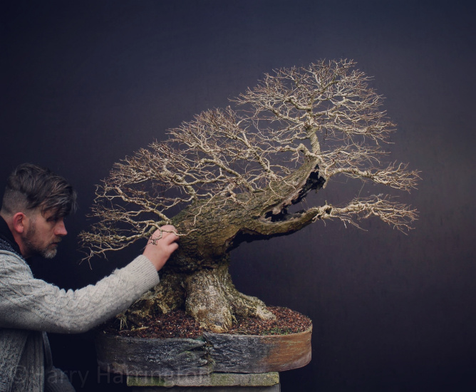 elm bonsai harry harrington