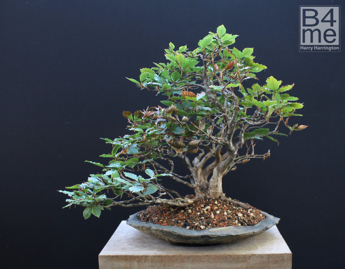 beech raft bonsai