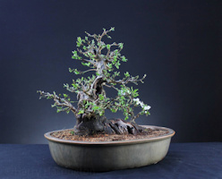 Prunus spinosa Blackthorn bonsai