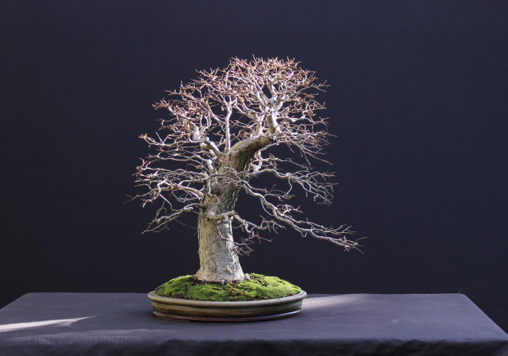 elm bonsai repotting