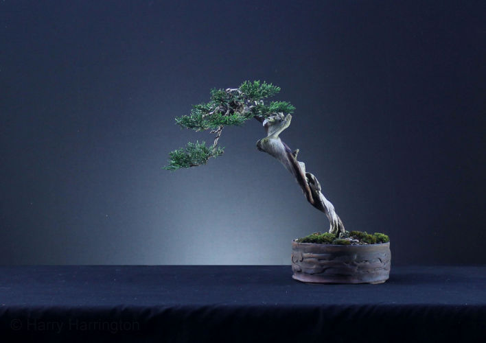 juniper literati bonsai