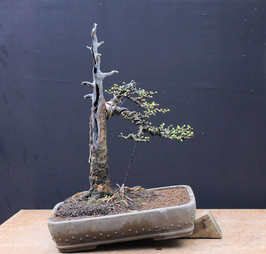 Larch bonsai