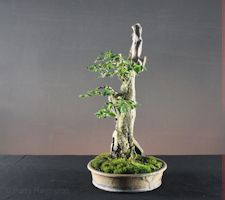 privet bonsai