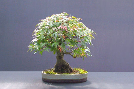 Acer palmatum/ Mountain Maple bonsai