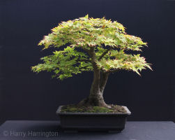 Acer palmatum/Japanese Maple bonsai