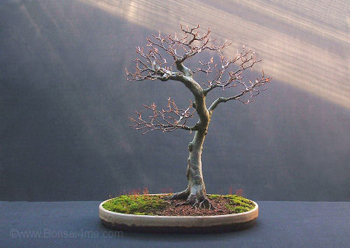 Fagus sylvatica/European Beech Bonsai