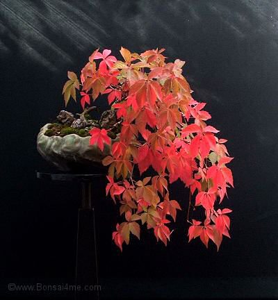 Autumn/Fall Colours Bonsai