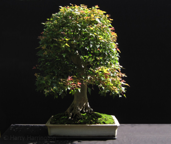 Trident Maple/Acer buergerianum Bonsai