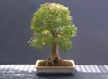 bonsai collection from Harry Harringon # 1 Trident%20maple%20bonsai%200708%20450