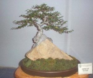 how to grow bonsai on rock