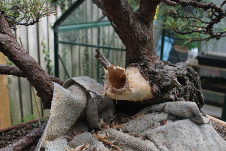 carving pine bonsai deadwood