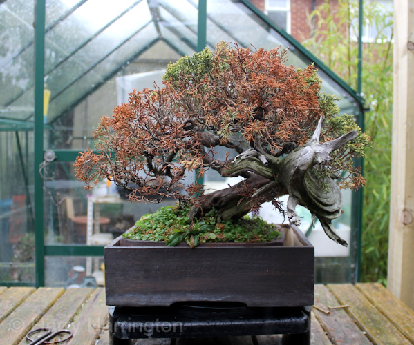 dying juniper bonsai