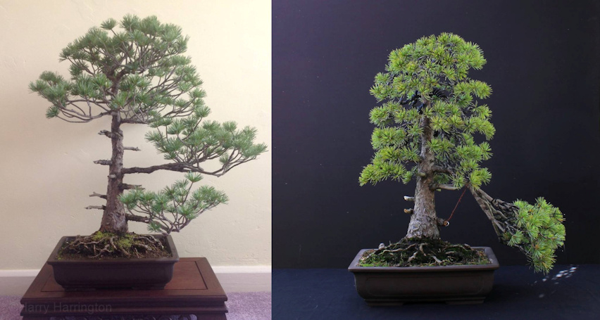 Japanese White Pine bonsa
