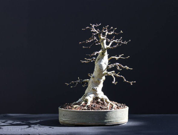 field maple bonsai