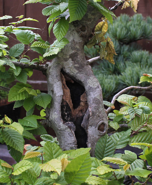 hornbeam bonsai carving