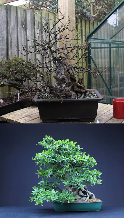 pyracantha bonsai