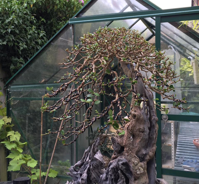 privet bonsai wiring