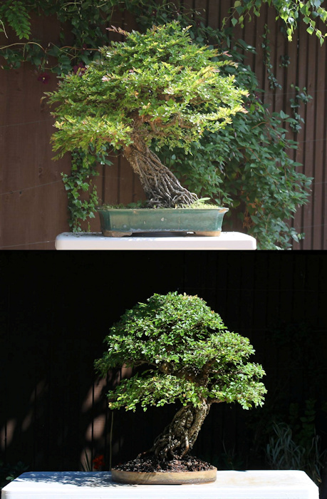 chinese elm bonsai