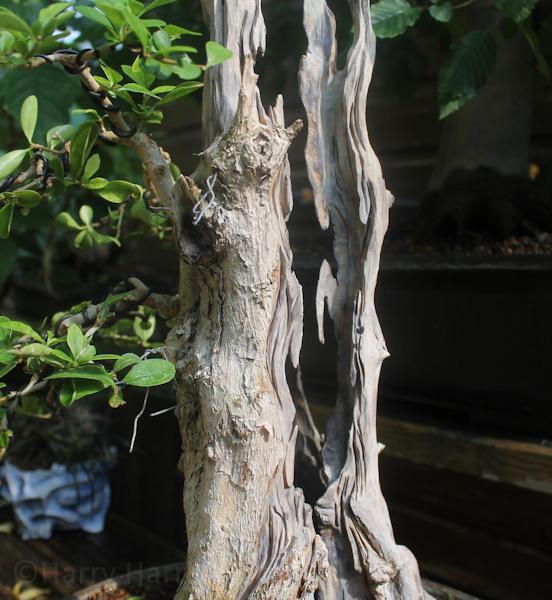 Using Superglue To Harden Deadwood On Bonsai