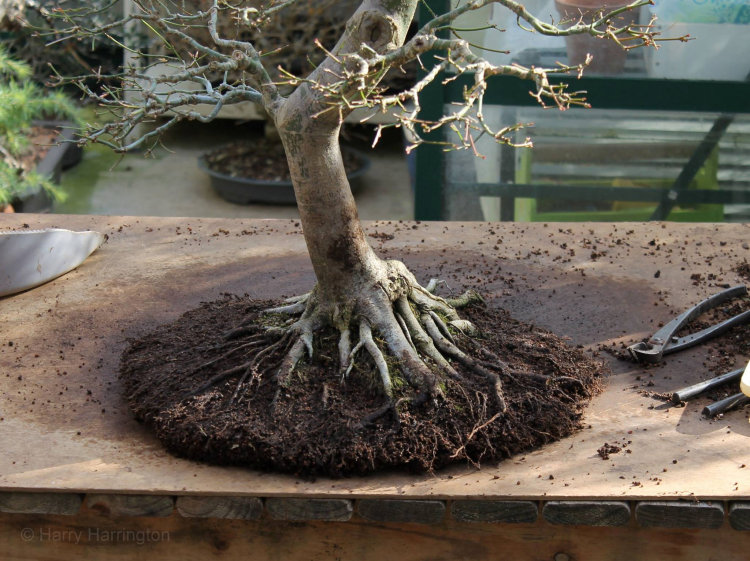 maple bonsai roots