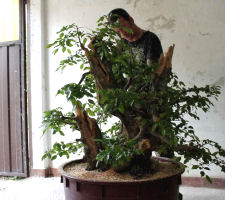 hornbeam bonsai styling