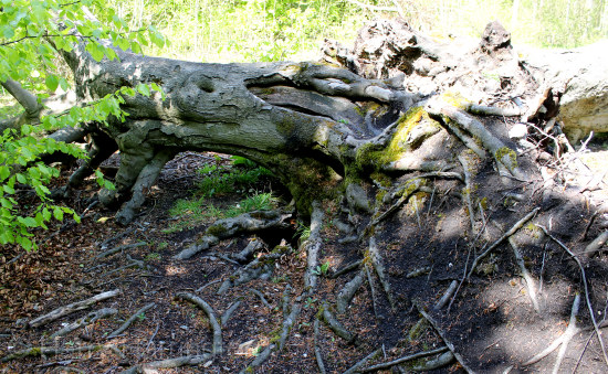 upturned beech tree