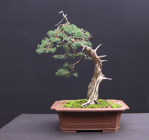 Chinese Juniper Bonsai Progression
