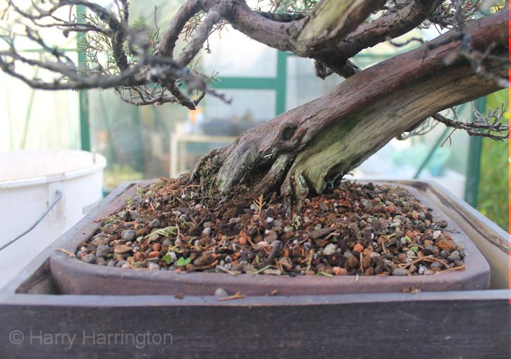 A Dying Juniper Bonsai