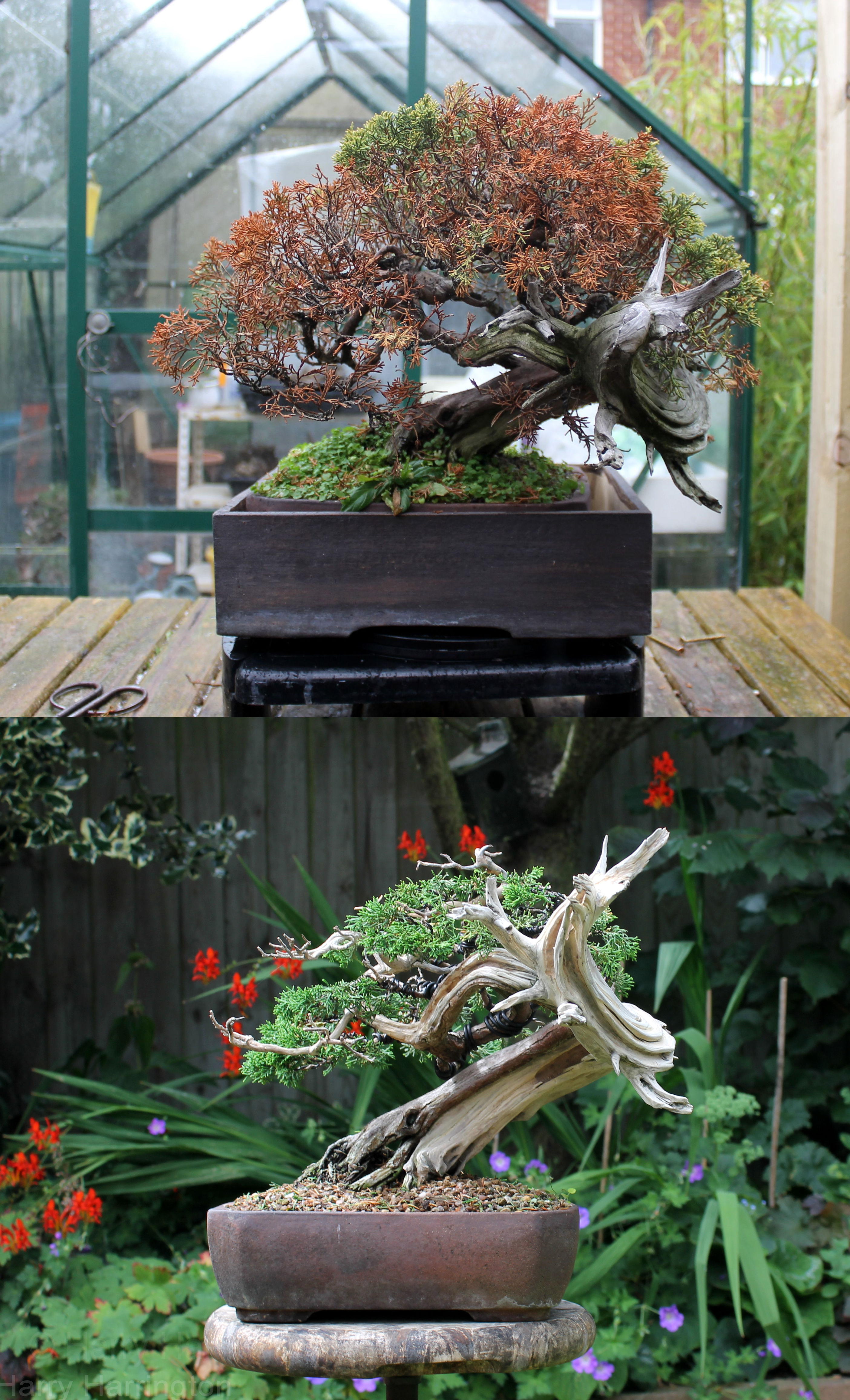 rhizotonic juniper bonsai