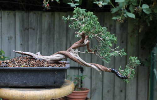 Sabina Juniper Bonsai Progression Series