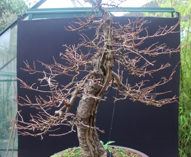 Larch Bonsai Carving and Styling