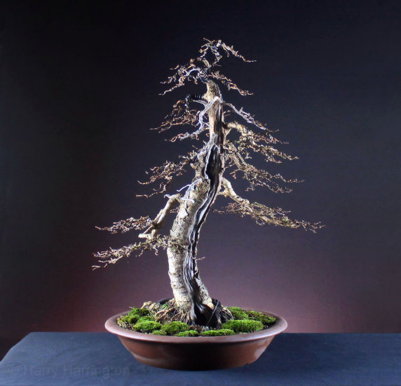 Sensational Larch Bonsai Carving And Styling Wiring 101 Capemaxxcnl