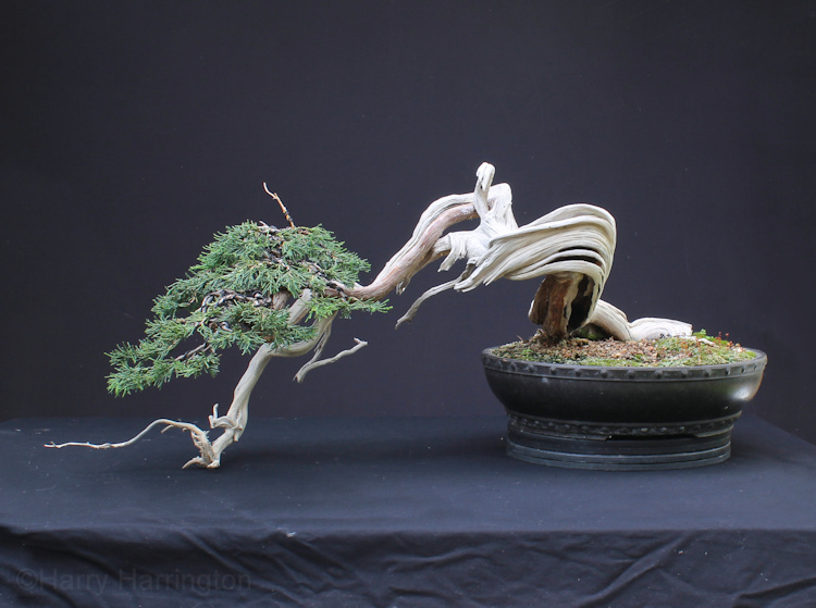 sabina juniper bonsai and lime sulphur