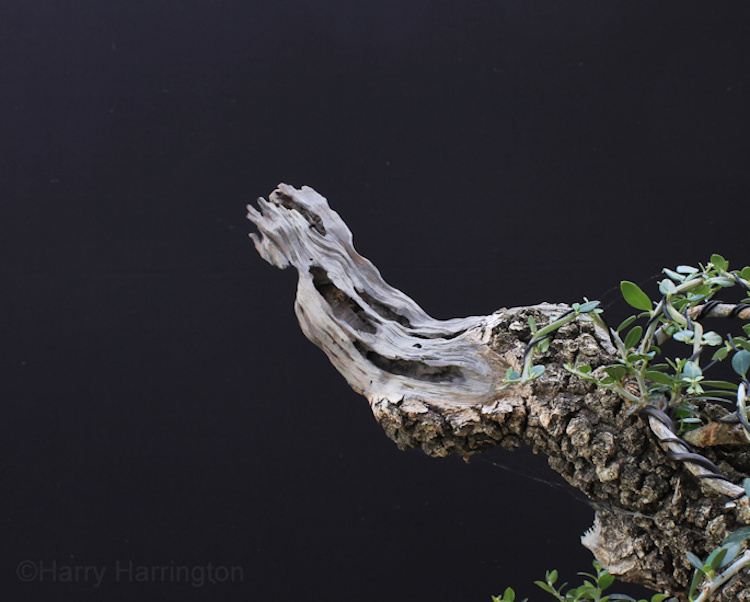 olive bonsai deadwood
