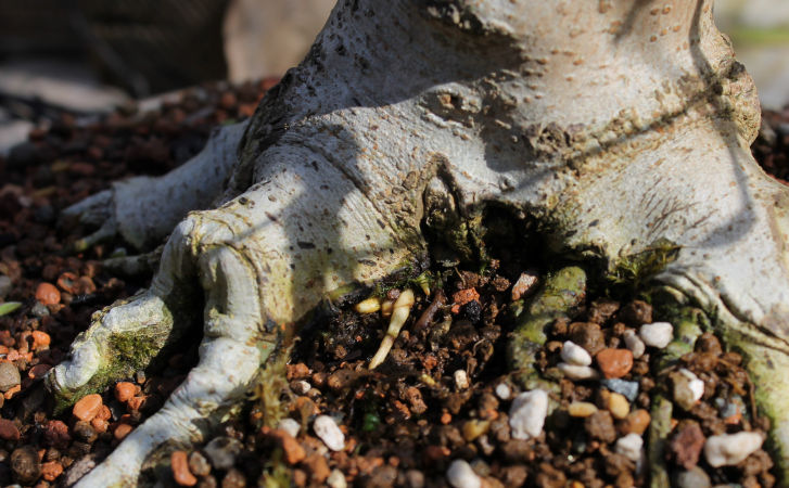 rhizotonic bonsai roots