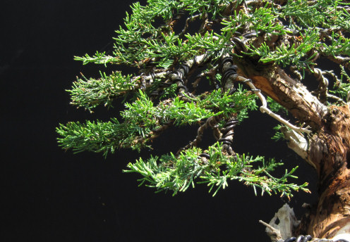 Styling Juniper Bonsai nches on