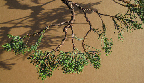 Remarkable Styling Juniper Bonsai Branches Wiring Cloud Nuvitbieswglorg