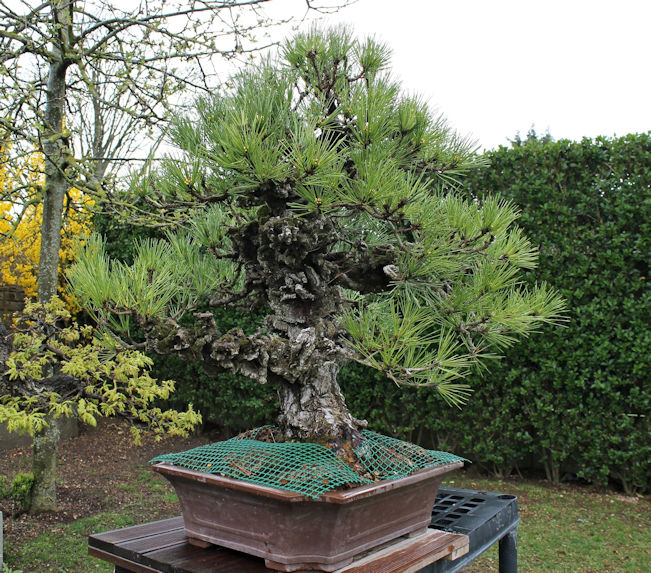 cork bark pine bonsai