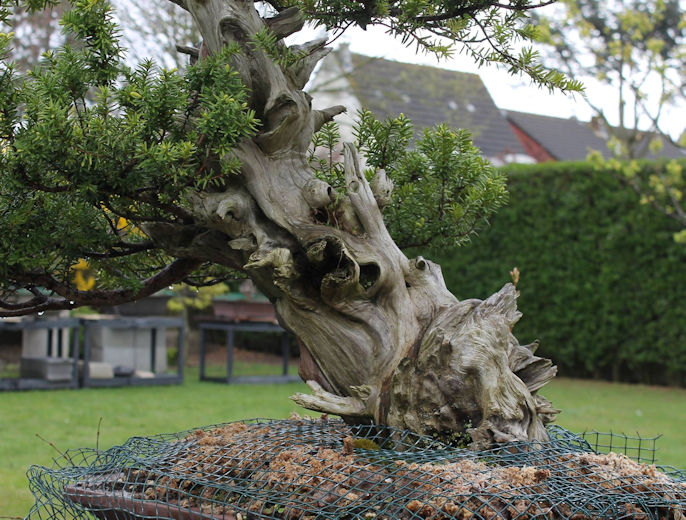 yew bonsai