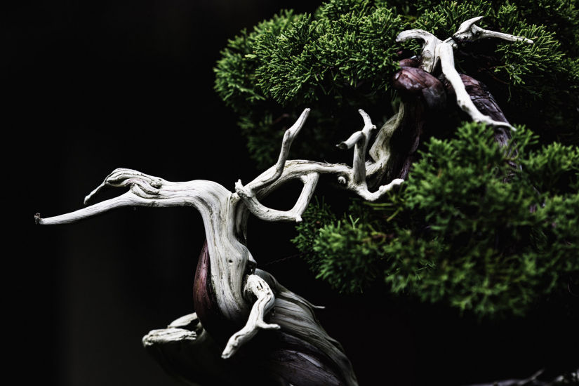 juniper bonsai stephen voss