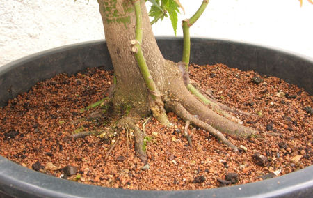 acer palmatum bonsai  root graft