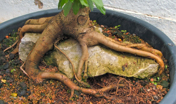 Field Maple (Acer campestre) root-over-rock