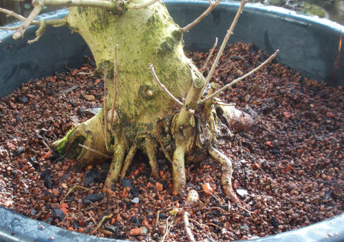 grafted bonsai roots