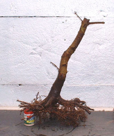 pruned bonsai roots