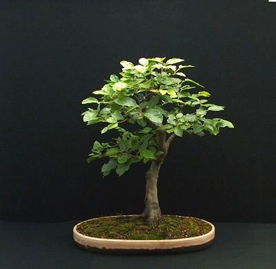 Fagus sylvatica/European Beech Bonsai Progression Series