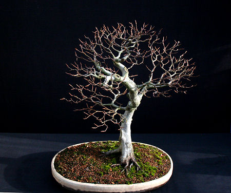 beech bonsai