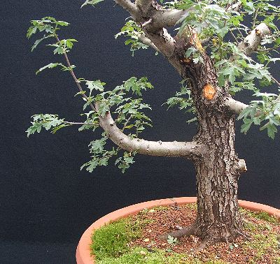 Hawthorn bonsai before hollowing