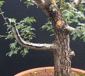 Bending Thick Or Brittle Bonsai Branches