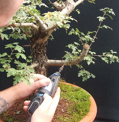 Hawthorn bonsai using Dremel